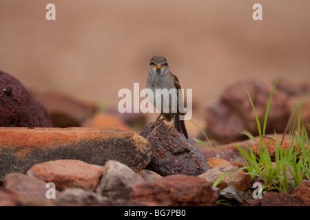 House Sparrow (Passer domesticus domesticus), immature male. - Stock Photo