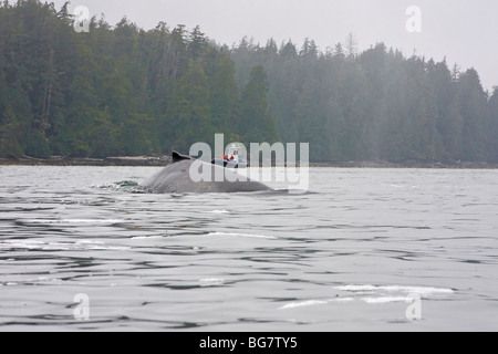 Whale watching boat approaches as humpback whale (Megaptera novaeangliae) surfaces off Vancouver Island, Canada - Stock Photo