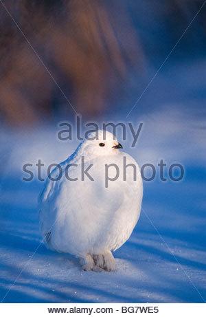 Alaska Range. Willow Ptarmigan (Lagopus lagopus) in the winter. - Stock Photo