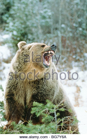 Grizzly Bear(Ursus horribilis), snarling on evergreen Mt. Captive - Stock Photo