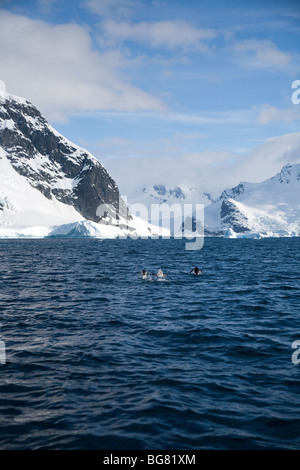 Gentoo penguins porpoising off Pleneau Island, Antarctica - Stock Photo