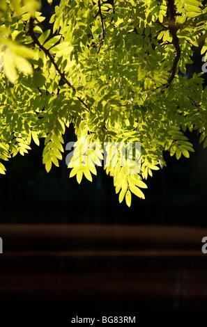 Green rowan (  Sorbus Aucuparia ) leaves - Stock Photo