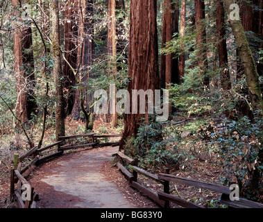 CALIFORNIA - Trail through the redwood trees of Cathedral Grove in Muir Woods National Monument - Stock Photo