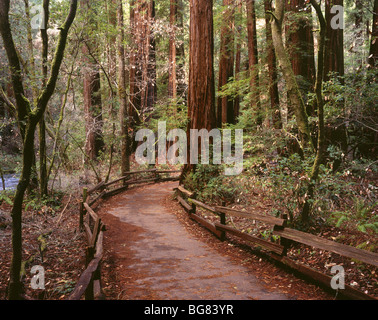 AA04899-02...CALIFORNIA - Trail through the redwood trees of Cathedral Grove at Muir Woods National Monument. - Stock Photo