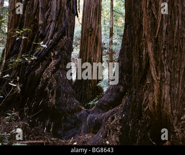 CALIFORNIA - Redwood trees in Cathedral Grove at Muir Woods National Monument. - Stock Photo