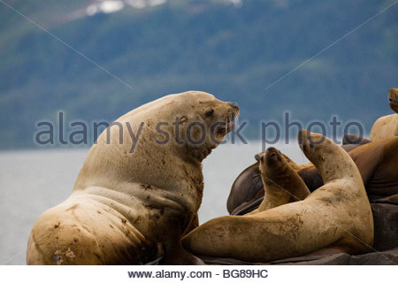 endangered Stellar Sea lions lounge on rocks at a haul-out in Prince William Sound - Stock Photo