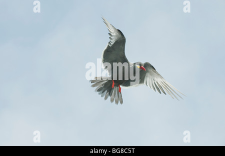 Inca Tern (Larosterna inca) WILD, In Flight, Pucusana , Peru - Stock Photo