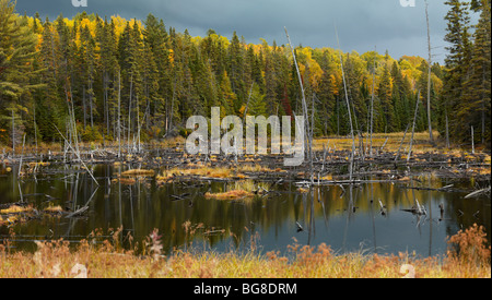 Drowned trees fall nature wetlands scenery. Algonquin Provincial Park, Ontario, Canada. - Stock Photo
