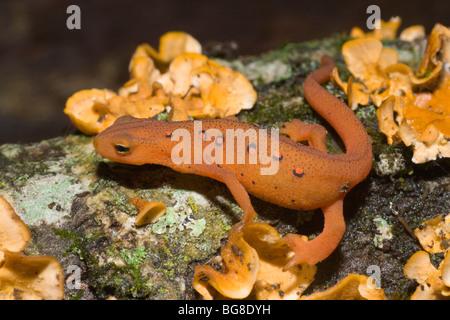 Red Eft or Newt Notophthalmus vividescens terrestrial form USA North America