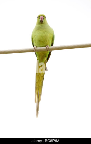 A Rose-ringed Parakeet (Psittacula krameri) while standing on a cable - Stock Photo