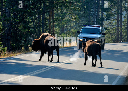American Bison (Bison bison) Crossing Grand Loop Road in Hayden Valley Yellowstone National Park, Wyoming, USA - Stock Photo