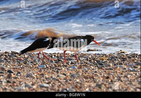 Pair of oystercatchers on shingle beach, RSPB Snettisham, Norfolk, UK - Stock Photo
