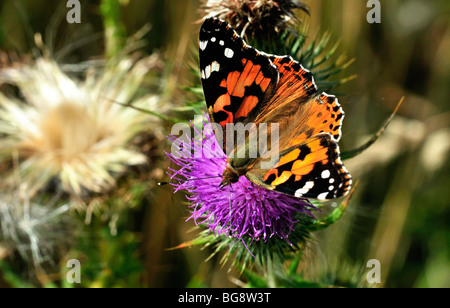 Painted Lady butterfly feeding on thistle, - Stock Photo