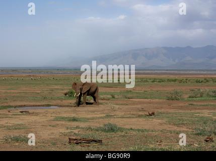 Elephant in Lake Manyara National Park, Tanzania, Africa - Stock Photo