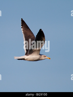Lesser black-backed gull Larus fuscus in flight - Stock Photo