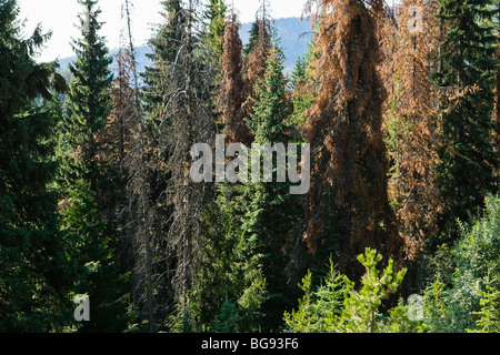 Conifer trees in Idaho infested by the Mountain Pine Beetle. - Stock Photo