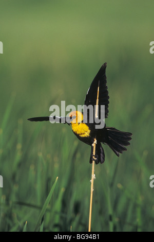 Yellow-headed Blackbird (Xanthocephalus xanthocephalus), male singing, Colorado, USA - Stock Photo