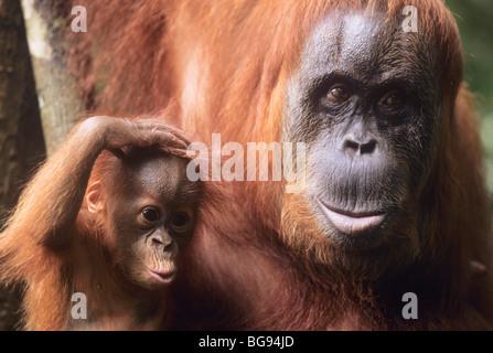 Sumatran Orangutan (Pongo abelii), mother with young, Gunung Leuser National Park, Sumatra, Indonesia, Asia - Stock Photo