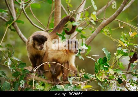Tufted Capuchin, Brown Capuchin or Black-capped Capuchin, Cebus apella, PANTANAL, MATO GROSSO, Brasil, South America - Stock Photo