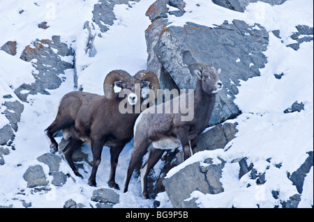 A male and female Bighorn Sheep - Stock Photo