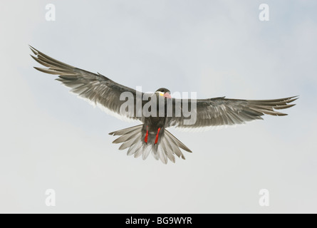 Inca Tern (Larosterna inca) In Flight, Pucusana, PERU - Stock Photo