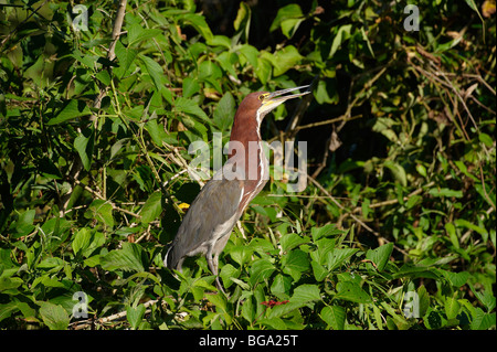 Rufescent Tiger Heron, Tigrisoma lineatum, PANTANAL, MATO GROSSO, Brasil, South America - Stock Photo