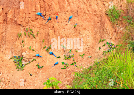 macaws and parrots at the clay lick near Tambopata Research Center, Tambopata National Reserve, Amazon Area, Peru, South America Stock Photo