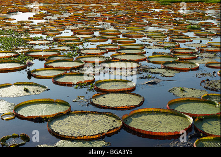 Giant Water Lily or Victoria Water lily, Victoria cruziana, PORTO JOFRE, Pantanal, MATO GROSSO, Brasil, South America - Stock Photo