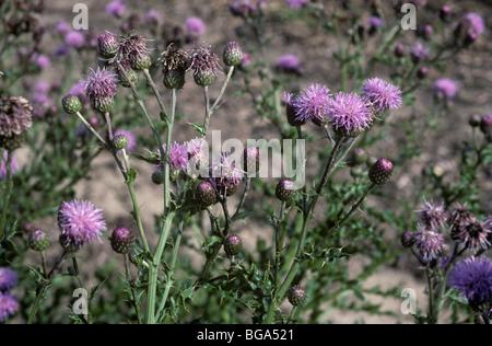 Creeping thistle (Cirsium arvense) flowering plants - Stock Photo