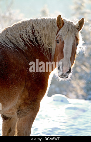 Horse, Belgian draft horse outdoors in winter with snow. Also known as draught horse. - Stock Photo