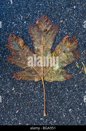A dampend flattened Maple leaf on an asphalt pathway. Vancouver, BC, Canada. - Stock Photo