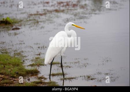Great White Egret, Casmerodius albus, PANTANAL, MATO GROSSO, Brasil, South America - Stock Photo