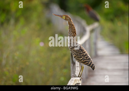 young Rufescent Tiger Heron, Tigrisoma lineatum, PANTANAL, MATO GROSSO, Brasil, South America - Stock Photo