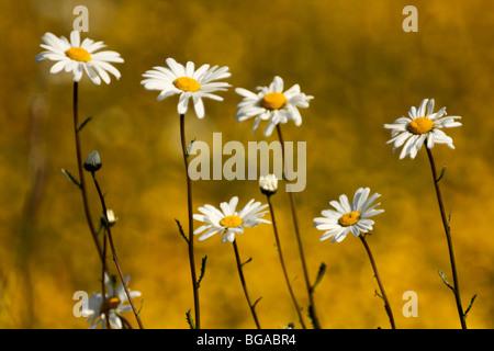 Ox-eye daisies (Leucanthemum vulgare, or Chrysanthemum leucanthemum) growing among buttercups in a summer meadow, - Stock Photo