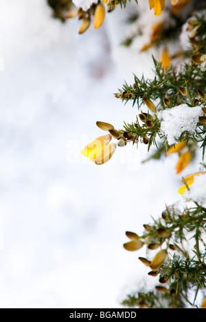 Yellow flower on snow covered Gorse bush, Ulex europaeus, Kent UK winter - Stock Photo