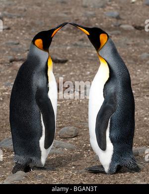 'King Penguins' - Stock Photo