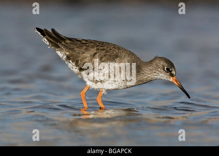 An adult Redshank feeding in a sea pool - Stock Photo