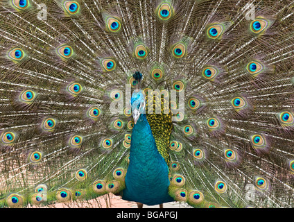Peacock in mating ritual of spectacular display of elongated upper tail covert feathers flared out to attract female - Stock Photo