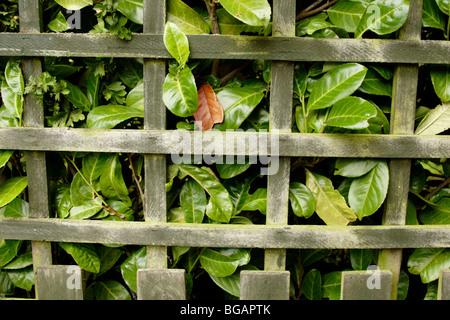 Laurel (Laurus nobilis) hedgerow behind wooden garden fence - Stock Photo