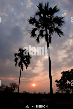 Silhouette of a tree against the sunset. The photo was taken in Zimbabwe's Victoria Falls national park. - Stock Photo