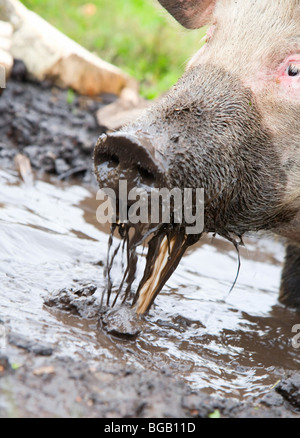 Pig sifting through puddle, because she is from Russia - Stock Photo