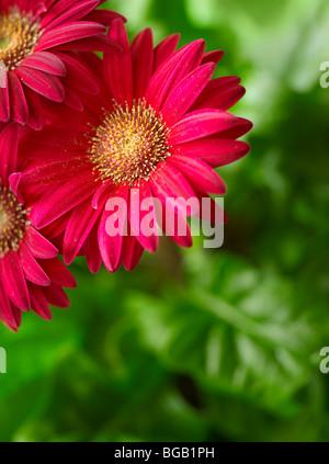 Pink Gerber Gerbera Daisy Flower, USA - Stock Photo