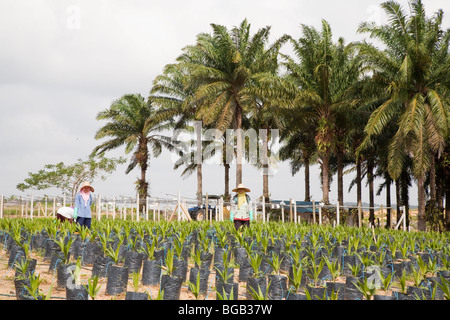 Female workers tending to young oil palms in the nursery with large palm trees in background. Johor Bahru, Malaysia - Stock Photo