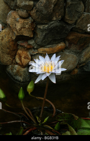 Blue Water Lily with rock wall. - Stock Photo