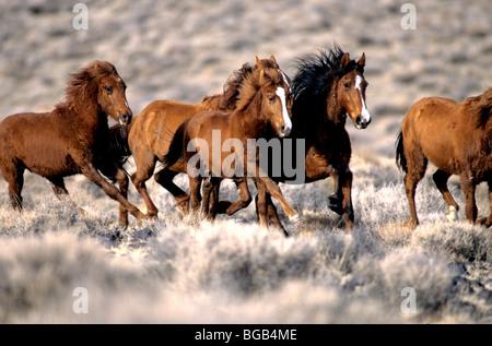 Herd of 'Wild Horses' running, high desert, Nevada - Stock Photo