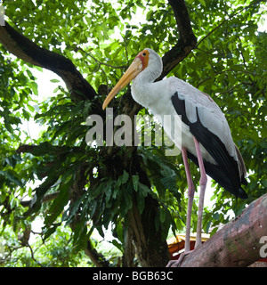 One solitary yellow billed stork standing on its long legs on a wood log under a large tropical tree at Kuala Lumpur - Stock Photo