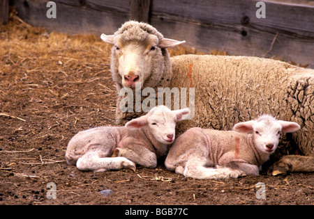 Ewe with two lambs resting in pen. - Stock Photo