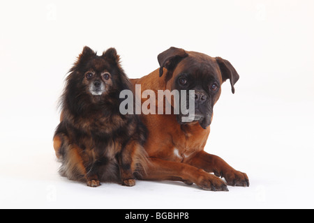 German Boxer and Pomeranian, both 10 years old - Stock Photo