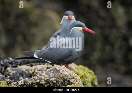 Inca Tern (Larosterna inca) Pair in intertidal, La Isla, Pucusana, PERU - Stock Photo