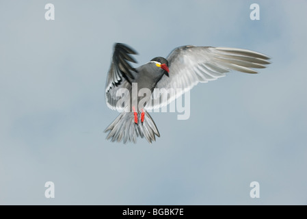 Inca Tern (Larosterna inca) WILD, In Flight, Pucusana, PERU - Stock Photo